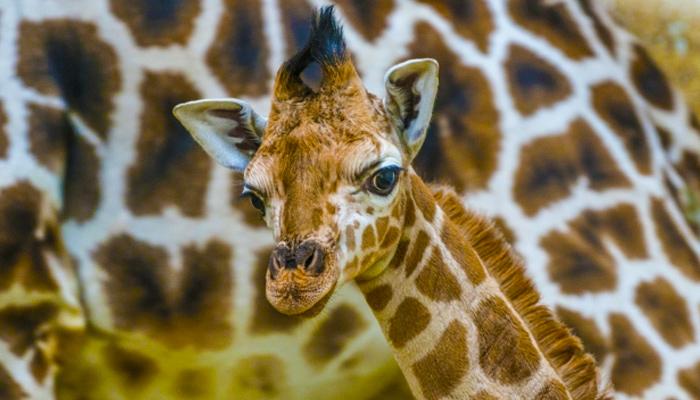 Szupercuki zsiráfbébi született Nyíregyházán. Akkora, mint egy megtermett felnőtt férfi