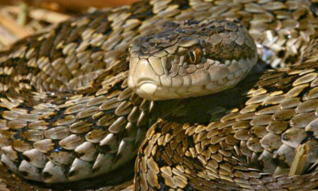 Mérgeskígyókat engednek szabadon többfelé Magyarországon