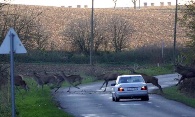 Kapitális szarvascsorda lepte meg az autóst az úton (Videó)