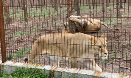 Kiszökött a ketrecéből egy oroszlán Pest megyében