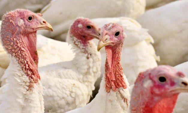 Drasztikusan drágulhat a szárnyas: 53 ezer pulykát lőnek ki madárinfluenza miatt