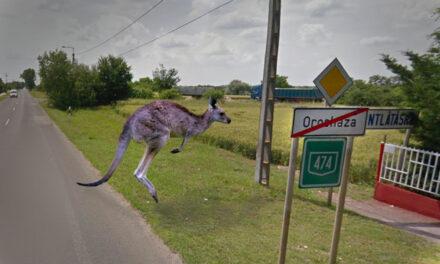 Elütöttek egy kengurut Orosházán