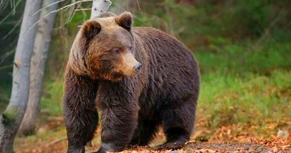 Medvelábnyomot találtak Budapest közelében, a népszerű börzsönyi erdei kisvasútnál