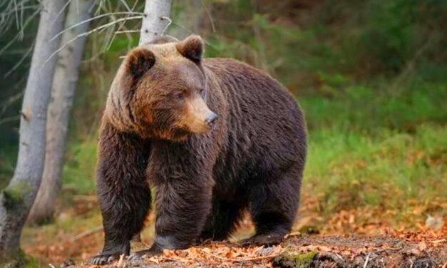 Veszélyes lett a Mátra, medvecsalád költözött Pásztó közelébe, szétmarcangoltak egy állatot