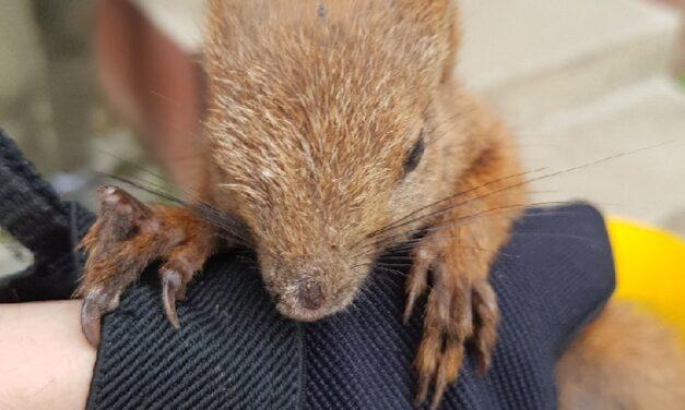 Rendőrök mentették meg egy fáról lezuhant mókus életét
