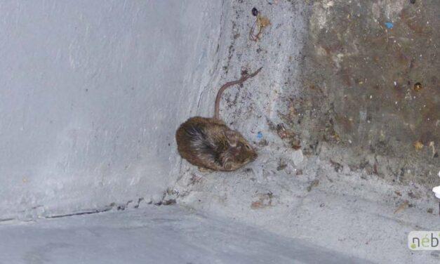 Egerek közt tárolták a penészes élelmiszert
