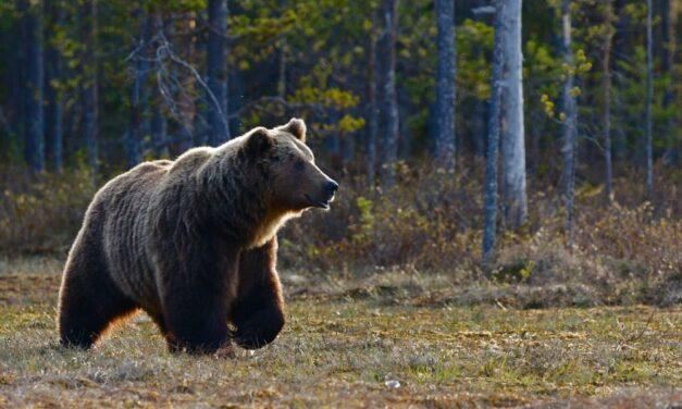 Horrortörténetek a Vereságyházi Medveotthonból: állítólag medvét is nyúztak