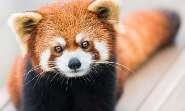 Új kis panda érkezett a Budapesti Állatkertbe és ez még nem minden