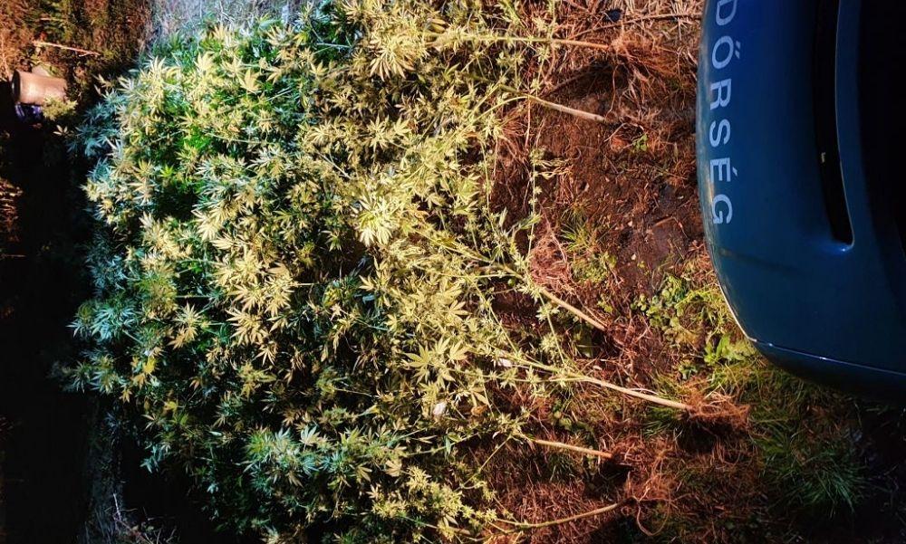 Drogtermesztőre csaptak le Szentesen: nagy mennyiségű tő kendert és növényi törmeléket találtak
