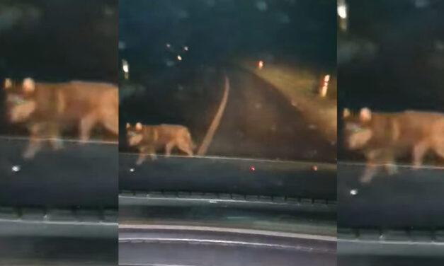 Farkasokat videóztak le nem mesze a 3-as főúttól Borsodban, körbeólálkodták az autóst éjszaka