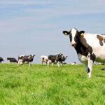 A szarvasmarhák gyomrában élő baktériumok képesek a műanyagok lebontására